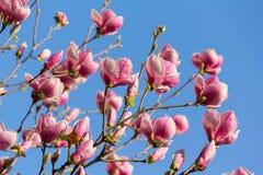 Schöne Magnolie blüht im Frühjahr Jahreszeit auf dem MA Stockbild