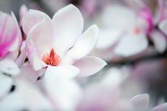 Schöne Magnolie blüht im Frühjahr sonnigen Tag Stockfotografie
