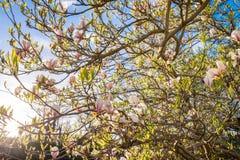 Schöne Magnolie im Morgen-Sonnenschein Stockbild