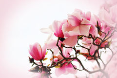 Schöne Magnolieblume Stockbilder