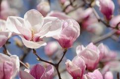 Schöne Magnolienbaumblüten im Frühjahr Helle Magnolienblume gegen blauen Himmel Romantischer Blumenhintergrund Stockbild