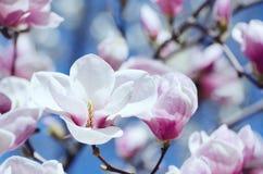 Schöne Magnolienbaumblüten im Frühjahr Helle Magnolienblume gegen blauen Himmel Romantischer Blumenhintergrund Lizenzfreie Stockfotografie