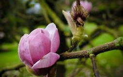 Schöne Magnolienblume im botanischen Garten in Irland Lizenzfreies Stockfoto