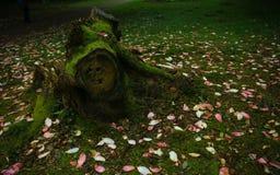 Schöne Magnolienblume im botanischen Garten in Irland Stockbild