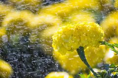 Schöne makro gelbe Astern Stockfoto