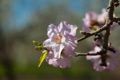 Schöne Mandelbaumblumen im Frühjahr lizenzfreie stockbilder