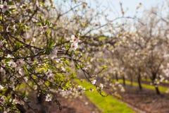 Schöne Mandelbaumblumen im Frühjahr lizenzfreies stockfoto