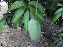 Schöne Mango, mit grünen Blättern stockbild