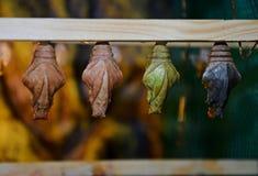 Schöne mehrfarbige Kokons lebende tropische Schmetterlinge lizenzfreie stockbilder