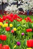 Schöne mehrfarbige Tulpen Stockfoto