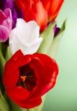 Schöne mehrfarbige Tulpen Stockbild