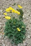 Schöne Mohnblume des Nord-Pamirs Lizenzfreie Stockbilder