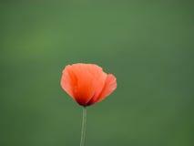 Schöne Mohnblumeblume Lizenzfreie Stockbilder