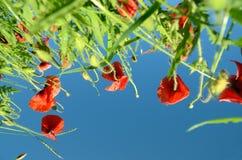 Schöne Mohnblumen angesichts der untergehenden Sonne gegen das Ba Stockbilder