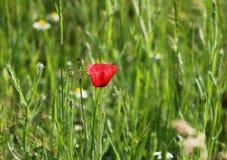 Schöne Mohnblumen in der Natur Lizenzfreies Stockfoto
