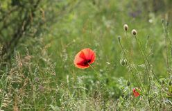 Schöne Mohnblumen in der Natur Lizenzfreies Stockbild