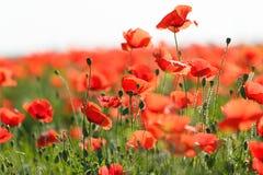 Schöne Mohnblumenblumen Stockfoto