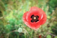 Schöne Mohnblumenblumennahaufnahme Stockfotos