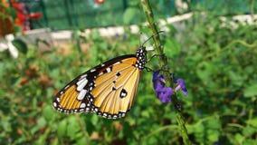 Schöne Monarch-Basisrecheneinheit stockfoto
