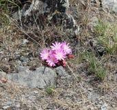 Schöne Montana-Blumen Stockbilder