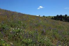Schöne Montana-Felder und -blumen Lizenzfreies Stockfoto