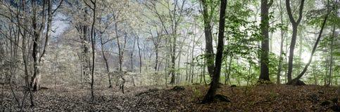 Schöne Morgenszene im Wald, ändernde Jahreszeit des Panoramas Stockfotografie