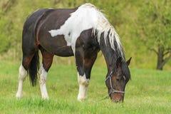 Schöne Mustangweide im Frühjahr lizenzfreies stockfoto