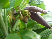 schöne Nahaufnahme der Banane stockfotografie