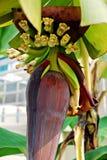schöne Nahaufnahme der Banane Lizenzfreies Stockfoto