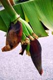 schöne Nahaufnahme der Banane Lizenzfreie Stockfotografie