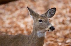 Schöne Nahaufnahme der netten Rotwild im Wald Lizenzfreies Stockbild