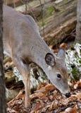 Schöne Nahaufnahme der netten Rotwild im Wald Stockfotos