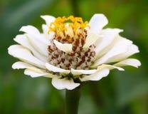 Schöne Nahaufnahme der weißen Blume Blume auf einem unscharfen Hintergrund Stockbild
