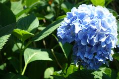 Schöne Nahaufnahme-Hortensie-Blume in der Sommersaison Stockbild