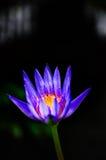 Schöne Nahaufnahme von Lotus Flower oder von Waterlilly Stockbild