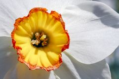 Schöne Narzissen-Nahaufnahme-- gelbe und orange Trompete mit den weißen Blumenblättern Stockfoto