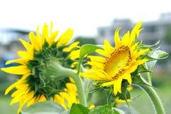 Schöne natürliche gelbe Sonnenblume im Garten stockbild