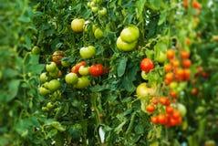 Schöne natürliche gewachsene Anlagen der Tomate Lizenzfreie Stockfotos