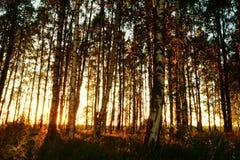 Schöne Natur am Abend im Sommerwald auf dem Sonnenuntergang Stockfotografie