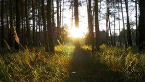 Schöne Natur des Waldes bei Sonnenuntergang stock video footage