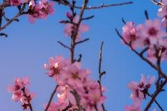 Schöne Naturszene Frühlingsmandelblumen Perfekter und schöner abstrakter Mandelblumenhintergrund Frühjahr am Feld herein stockfotos