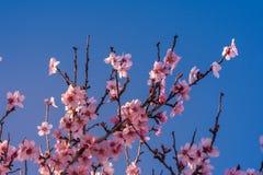 Schöne Naturszene Frühlingsmandelblumen Schöner abstrakter Mandelblumenhintergrund Frühjahr am Feld in Valencia, stockbild