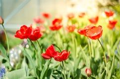 Schöne Naturszene mit blühender roter Tulpe in den Sonnenaufflackern Frühlingsblumen Schöne Wiese Feldblumentulpe stockfoto