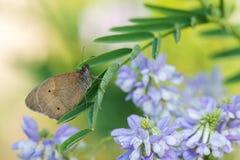 Schöne Naturszene mit Schmetterling Wiesenbraun Maniola-jurtina Lizenzfreie Stockfotos