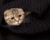 Schöne, nette schottische Faltenkatze sitzt eingewickelt, in einem schwarzen gestrickten Schal und besorgt in schauen zur Seite lizenzfreies stockbild