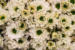Schöne neue weiße Chrysanthemen closep Ansicht für Hintergrund Lizenzfreie Stockfotografie
