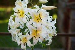 Schöne Niederlassung der weißen Lilien Lizenzfreies Stockfoto