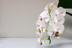 Schöne Niederlassung der weißen Orchidee mit purpurroten Tropfen blühen die Motten-Orchidee des Phalaenopsis-'Strahlens oder Phal stockfotos