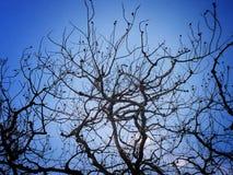 Schöne Niederlassung des Todesbaums im Nachtblauen Himmel Lizenzfreie Stockfotos