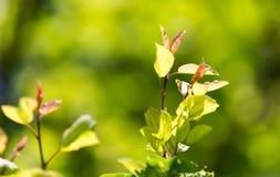 Schöne Niederlassung eines Baums mit grünen Blättern Lizenzfreie Stockfotos